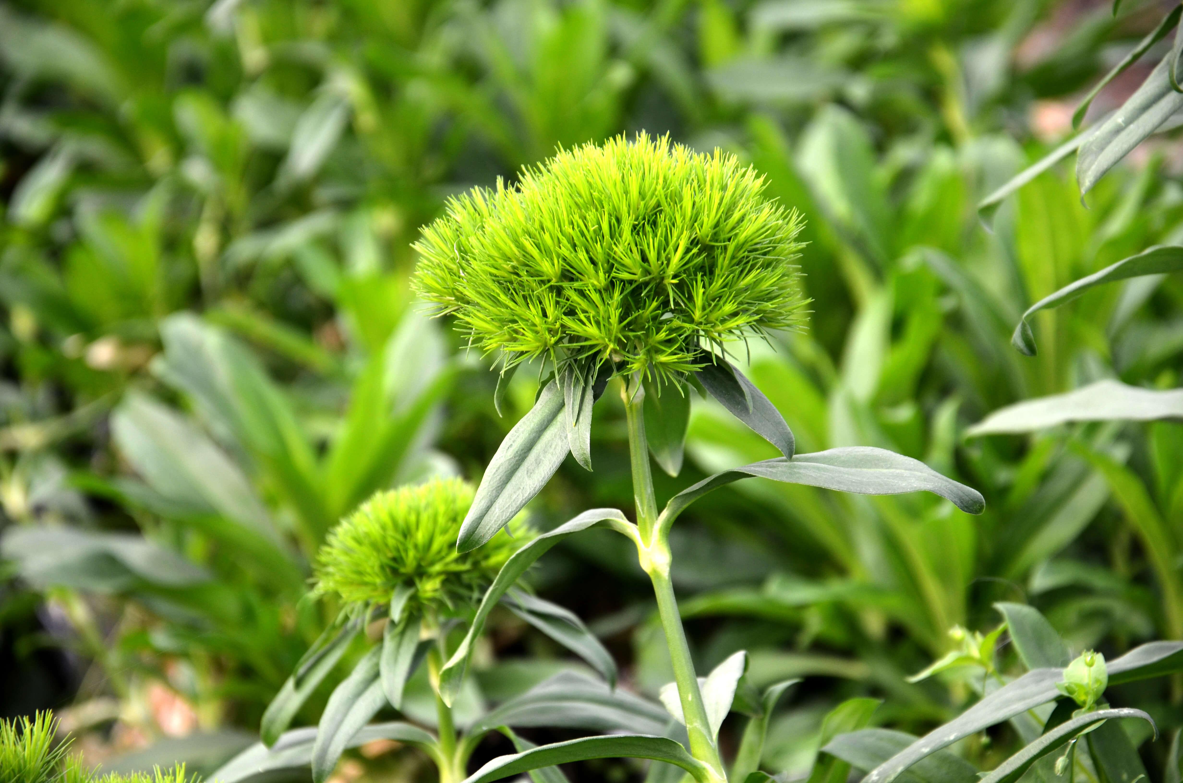 Clavell verd
