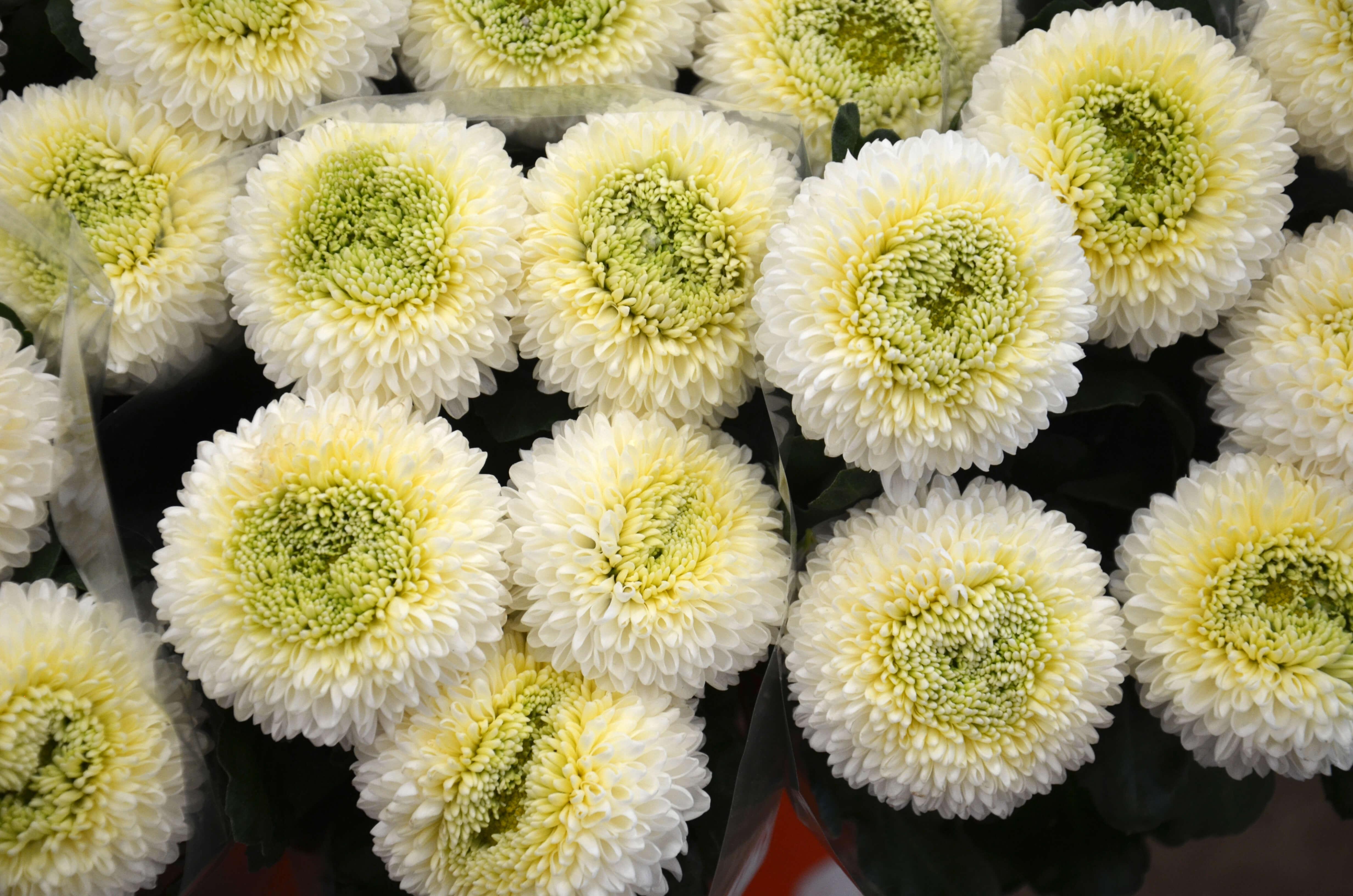 Crisantem bola