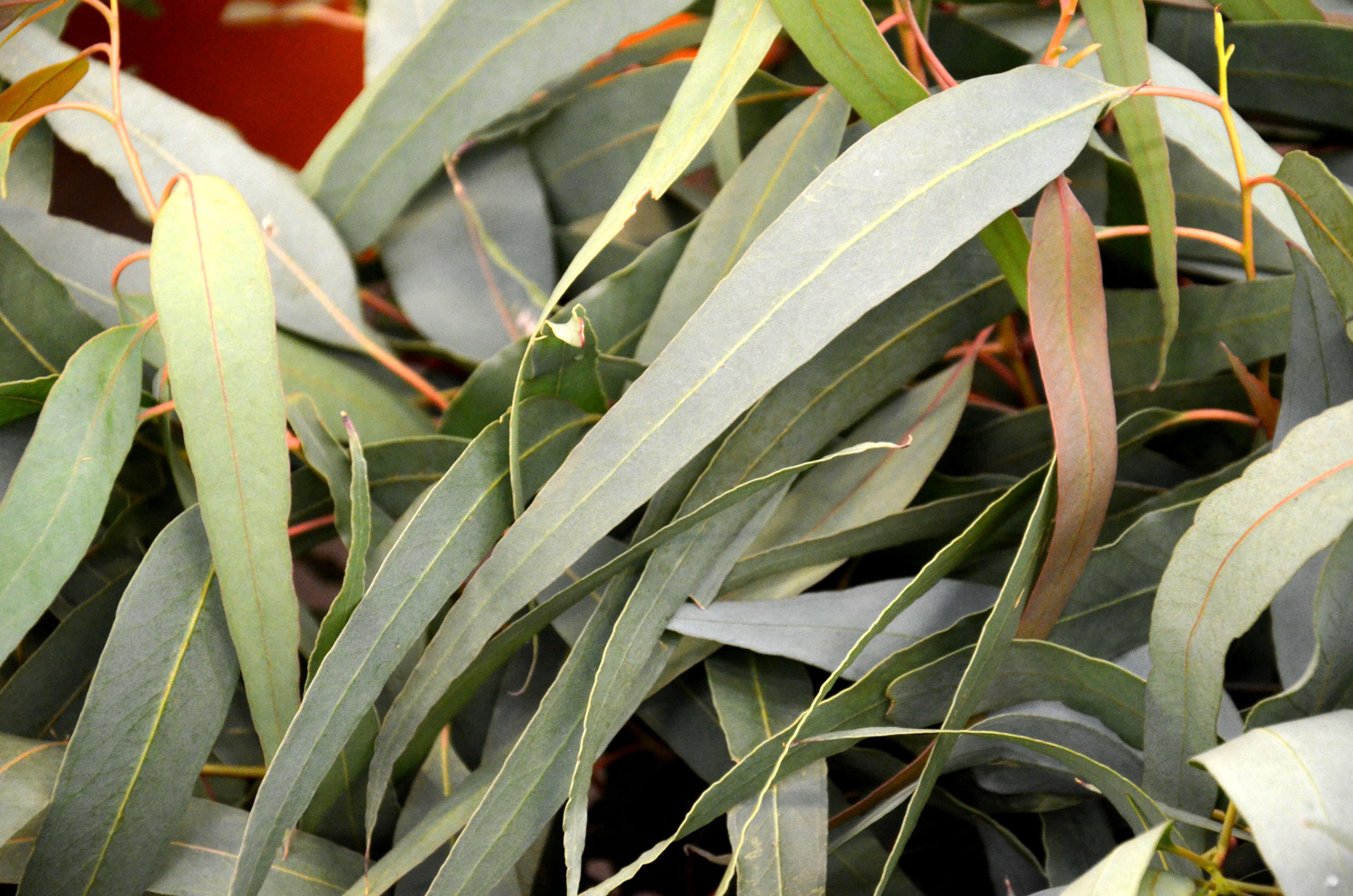 Fulles deucaliptus