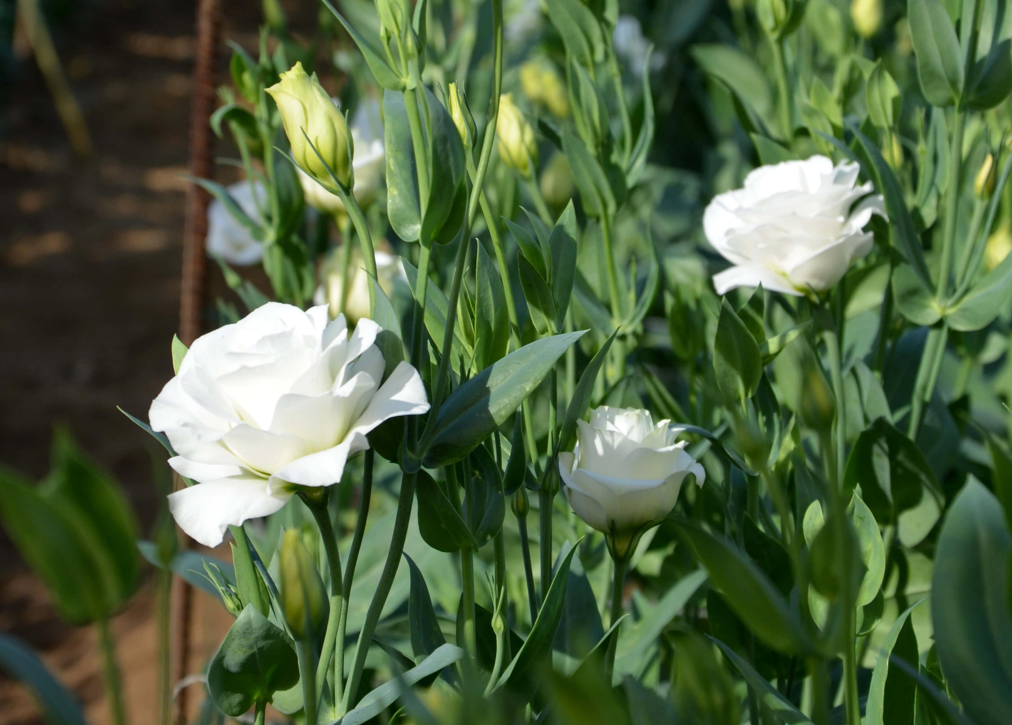 Lisianthus blanc
