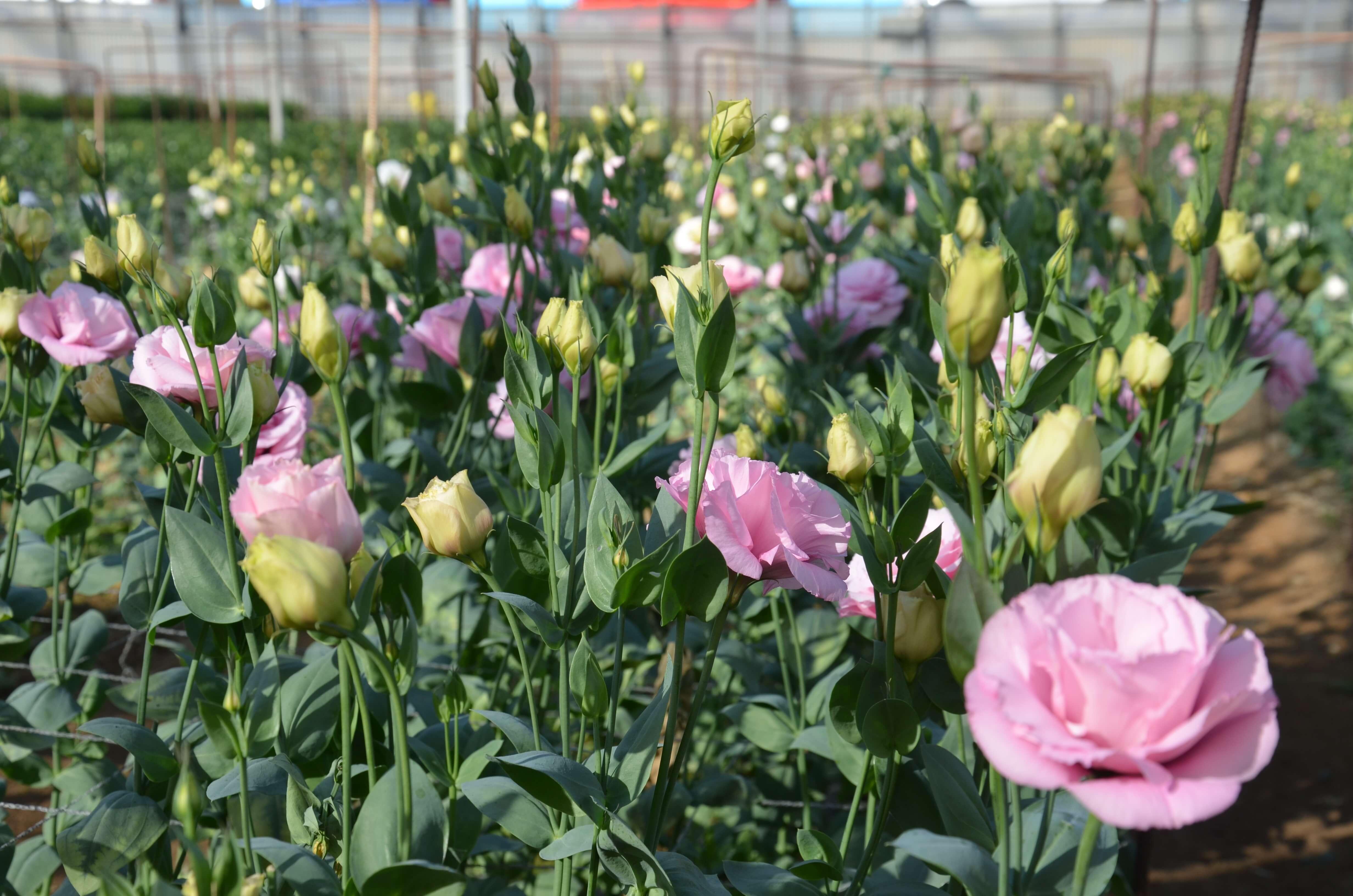 Lisianthus rosa