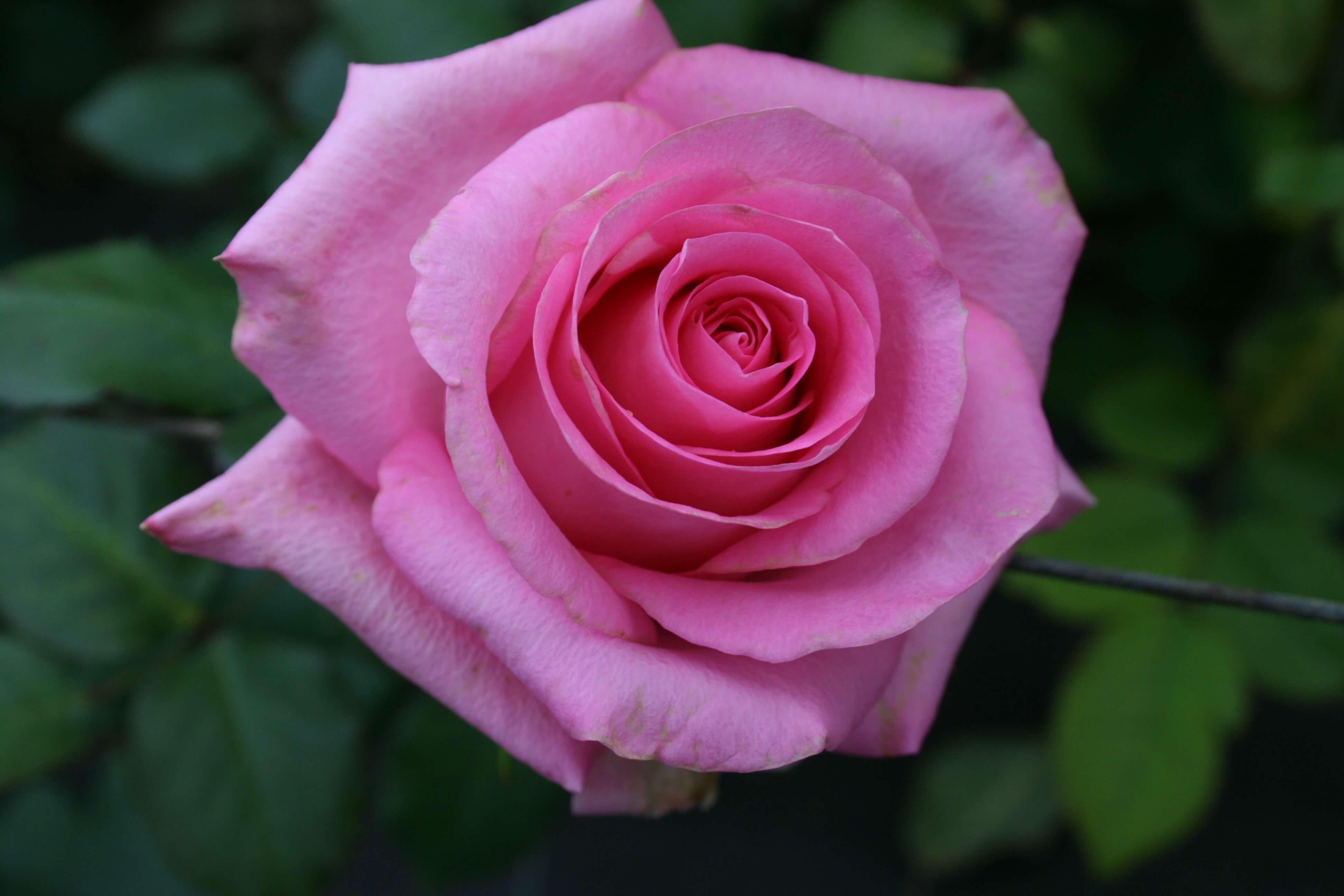 Rosa 3
